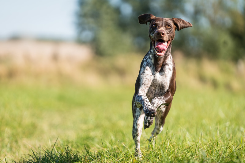German Shorthaired Pointer running at speed, taken in Hampshire, UK by MIL Pet Photography. Copyright is Millers Image Limited. Dog Photographer is Chris Miller.