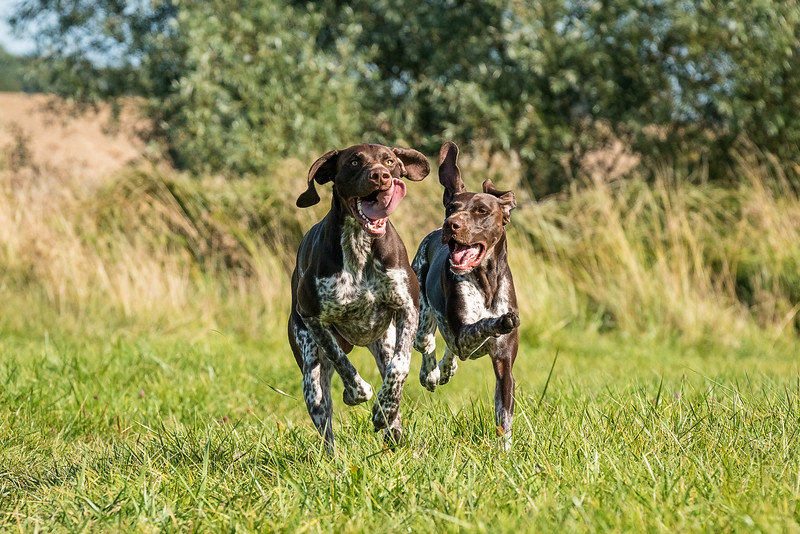 German Shorthaired Pointers playing in a field together, taken in Hampshire, UK by MIL Pet Photography. Copyright is Millers Image Limited. Dog Photographer is Chris Miller.