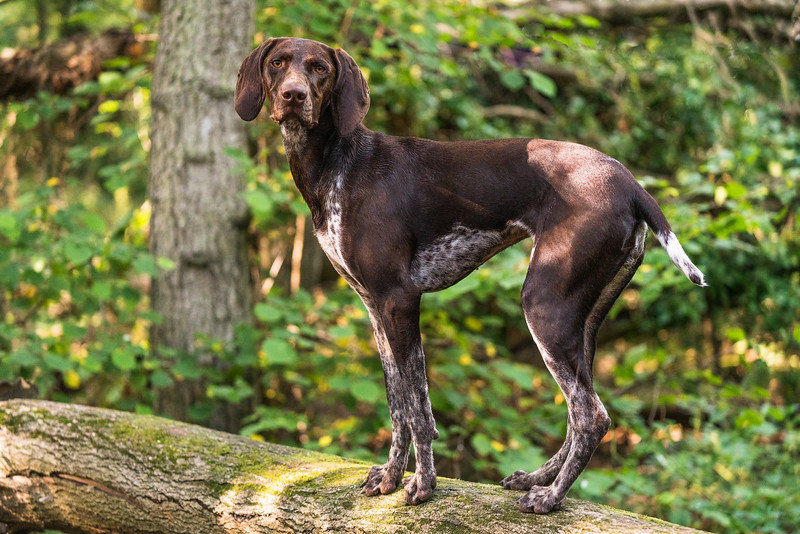 German Shorthaired Pointer on a log in the woods taken in Hampshire, UK by MIL Pet Photography. Copyright is Millers Image Limited. Dog Photographer is Chris Miller.