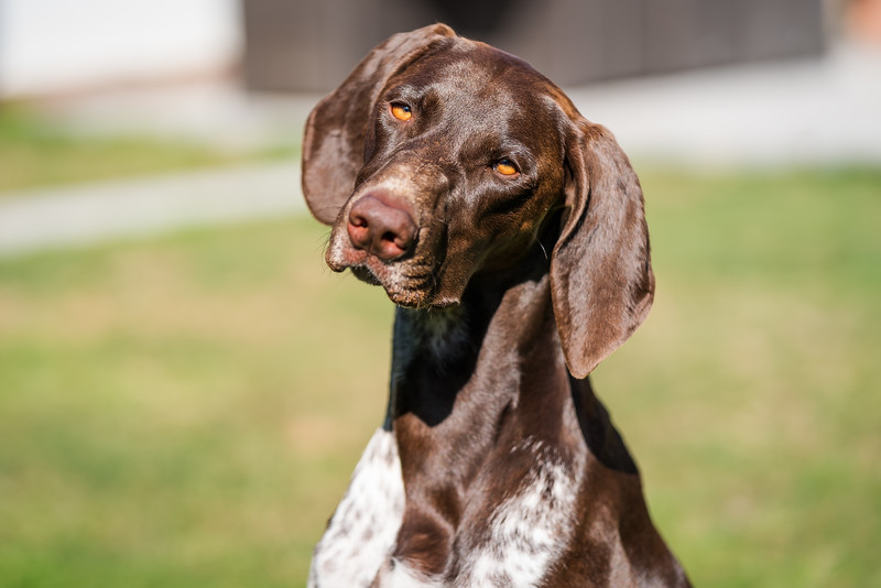 German Shorthaired Pointer with head tilted, taken in Hampshire, UK by MIL Pet Photography. Copyright is Millers Image Limited. Dog Photographer is Chris Miller.