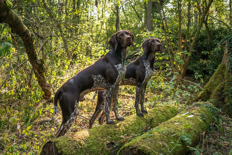 Pair of German Shorthaired Pointers in the woods, taken in Hampshire, UK by MIL Pet Photography. Copyright is Millers Image Limited. Dog Photographer is Chris Miller.