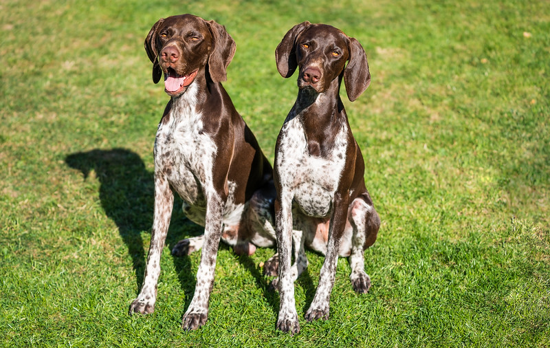 Two German Shorthaired Pointers sitting, taken in Hampshire, UK by MIL Pet Photography. Copyright is Millers Image Limited. Dog Photographer is Chris Miller.