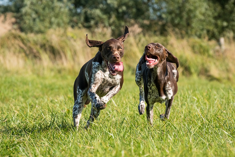 German Shorthaired Pointers in a field taken in Hampshire, UK by MIL Pet Photography. Copyright is Millers Image Limited. Dog Photographer is Chris Miller.