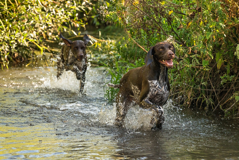 Two German Shorthaired Pointers playing together in a river, taken in Hampshire, UK by MIL Pet Photography. Copyright is Millers Image Limited. Dog Photographer is Chris Miller.
