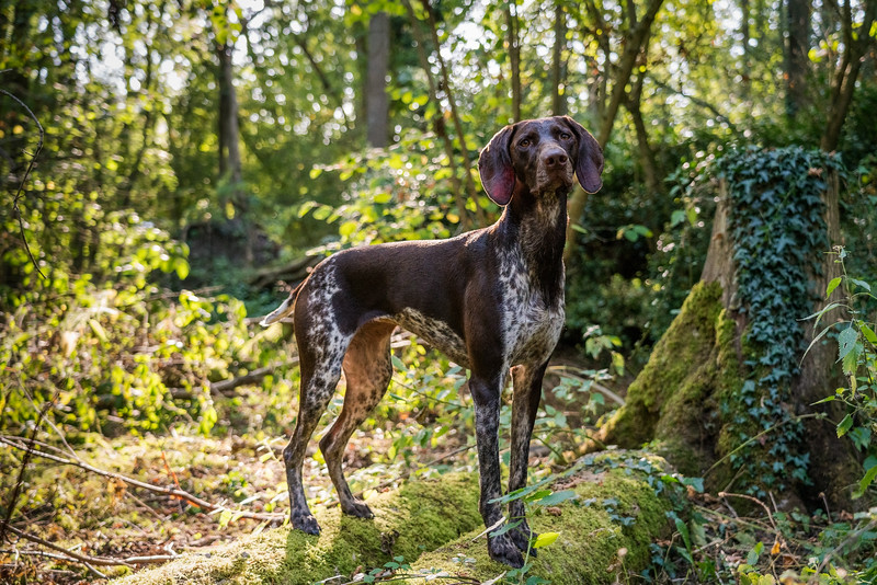 German Shorthaired Pointer, taken in Hampshire, UK by MIL Pet Photography. Copyright is Millers Image Limited. Dog Photographer is Chris Miller.