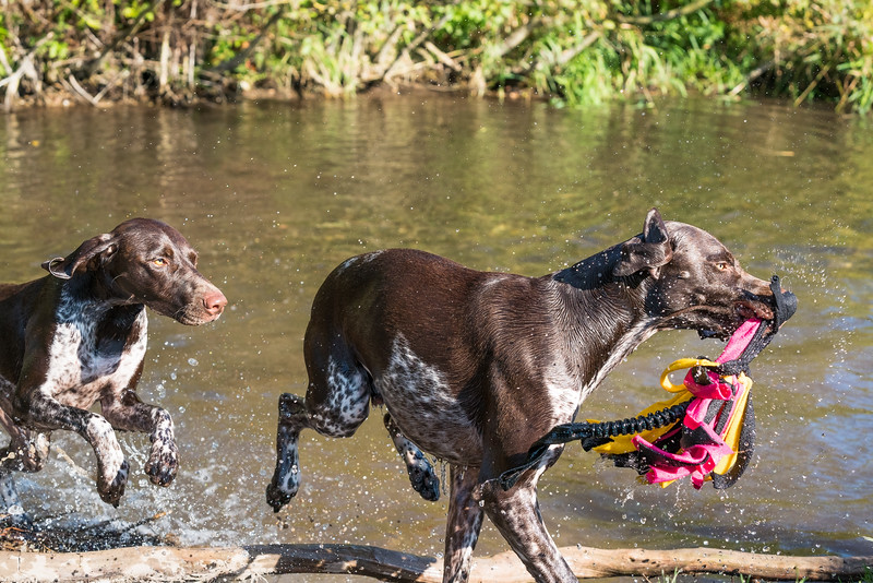 German Shorthaired Pointers retrieving in the water, taken in Hampshire, UK by MIL Pet Photography. Copyright is Millers Image Limited. Dog Photographer is Chris Miller.