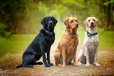 Three labradors posing in the forest