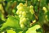 grapes-276070_1920