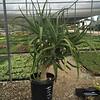 Aloe barberae (nursery container)
