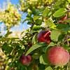 Heath Orchard 20110918 - 003