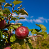 Heath Orchard 20110918 - 005