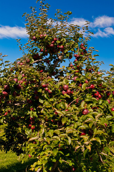 Heath Orchard 20110918 - 004