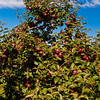 Heath Orchard 20110918 - 004