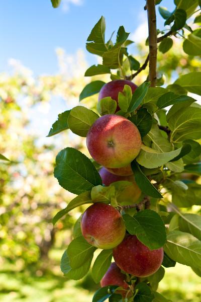Heath Orchard 20110918 - 002