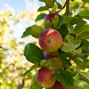 Heath Orchard 20110918 - 002