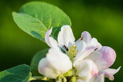 pommier  fleuræ