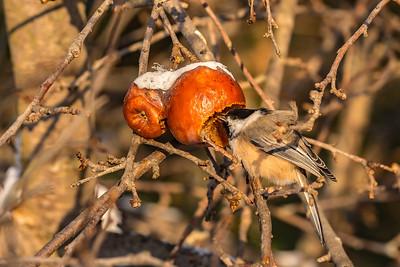 mutualisme mésange  pommes  hiver