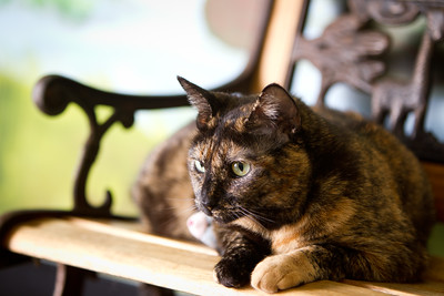 Sylvia - a 2 yr old tortoise shell female short hair cat.  She's been at the Lexington Humane Society since 6/11