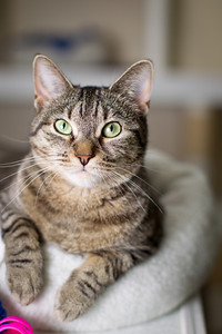 Gillie - a 1 yr old female short hair tabby that has been at the Lexington Humane Society since 6/11