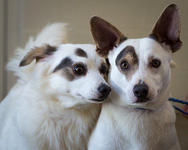 Jacie Mae, a 4 yr old JRT/spaniel mix who is looking for her forever home with her brother Gustas McRae, a JRT/heeler mix (large upright ears).  They can be found at the Lexington Humane Society.