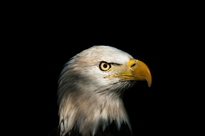 Portrait of an Eagle Part II  © Brian Glantz