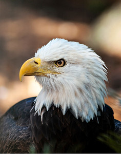 Portrait of an Eagle Part I  © Brian Glantz