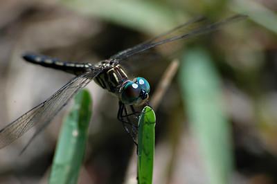Dragonfly on a blade of grass.  Windermere, Florida  © Brian Glantz