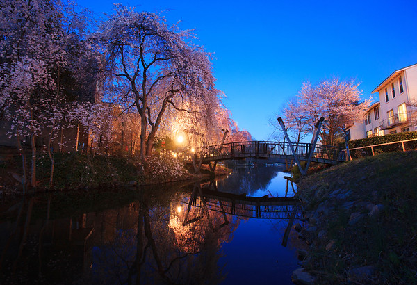 Twilight cherry blossoms 1