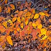 2020-11-06 Poison Ivy on Great Oak Circle