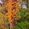 2020-11-06 Poison Ivy Climbs A Tree