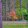 2020-11-05 A Neighbor's Maple