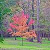 2020-11-06 Fiery Maple