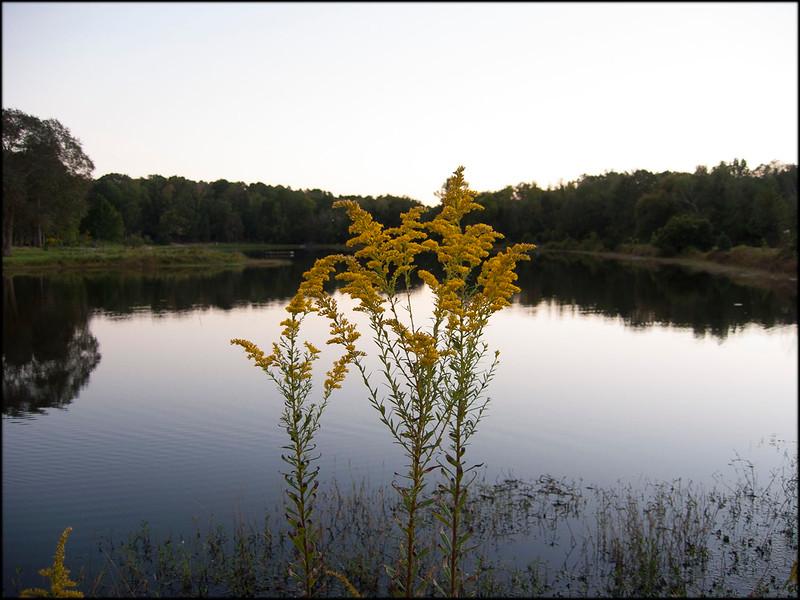 Goldenrods along the bank on Lake #3