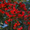 2012-PyrocanthiaBerries_08972J8A0897