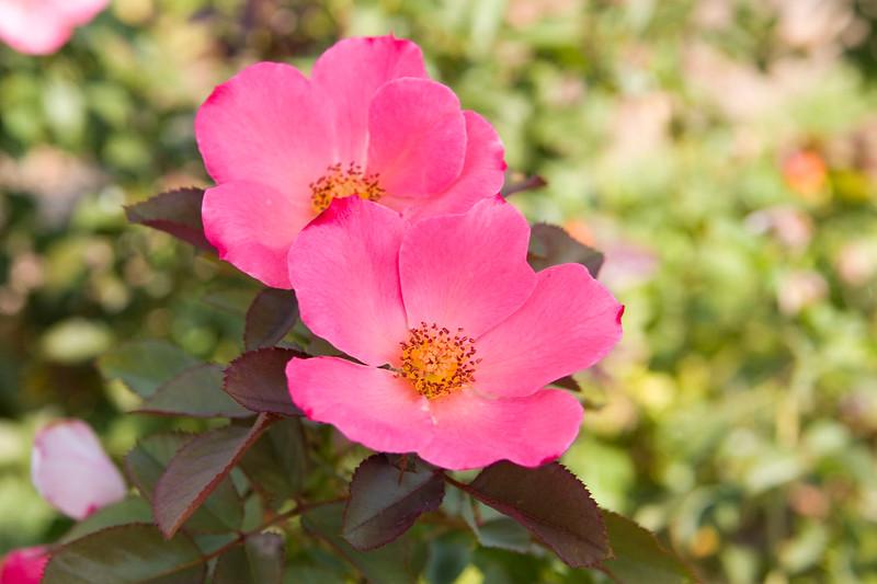 101105_Roses_4691