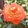 101105_Roses_4700