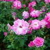 101506_Roses_2668