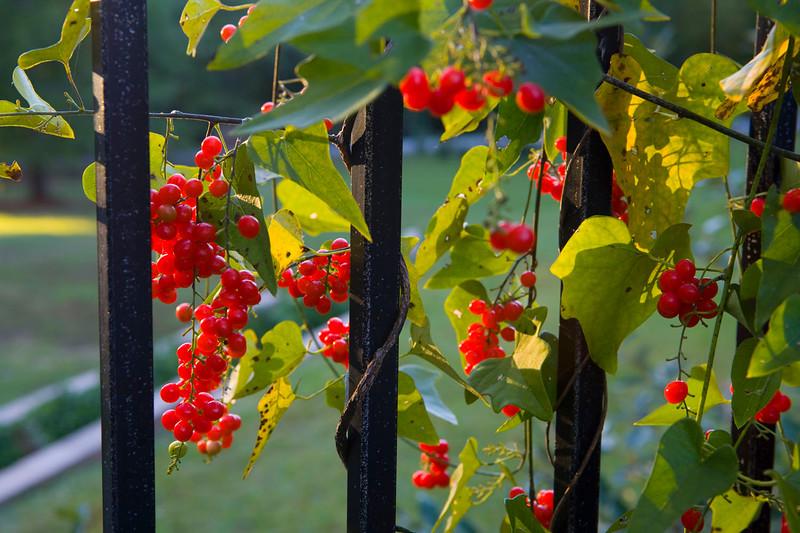 102408_RedBerries_7367