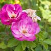 101105_Roses_4692