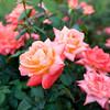 101506_Roses_2672