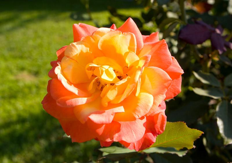 101105_Roses_4909