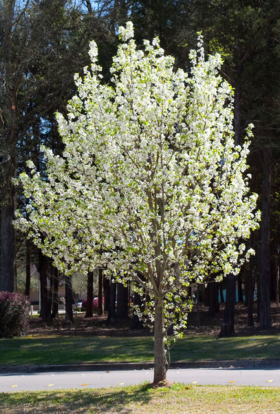 PearTrees_5