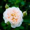 111306_RoseGarden_3199
