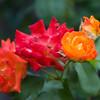 080905_Roses13