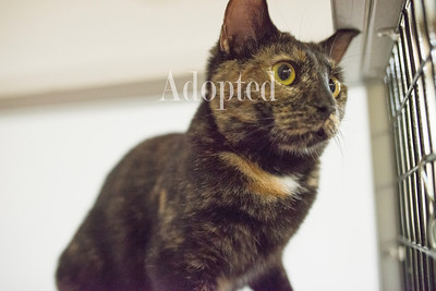 Wow, I'm so glad to have some space all to myself! I was rescued from a house that had WAY too many cats and I'm ready for my chance to shine. I'm a gorgeous Torti teenager and since my mom has already been adopted, maybe we can talk about getting together? I'll be your lifelong friend, providing you with all the head-bonks, nuzzles and soft cuddles you could ever want! - See more at: http://safehavenforcats.org/adoptions/meet-the-cats/#sthash.ZaSmMv9W.dpuf