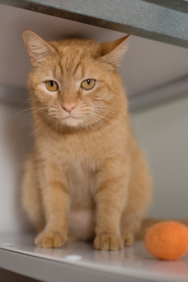 Hi, I'm Smuckers and I'm as sweet as they come. Doesn't my orange tabby coat look just like delicious marmalade jam? I'm a fantastic declawed girl who isn't a big fan of other cats, but I sure do love people. Hopefully you can stop by and spend some time with me. I know we'll hit it off right away.