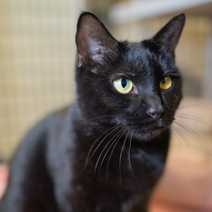I may be a tiny bit cross-eyed, but I can still see that you're a pretty cool human! I'm a handsome black cat who is ready for love. I'm an incredibly sweet guy that wouldn't mind another cat friend at your house. I'd be happy to go over my requirements for a forever home; delicious treats, gentle pets and a couch to nap on! Do you have what it takes?