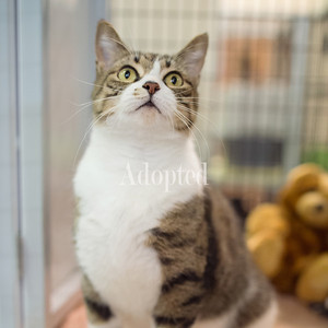 I'm a sweetheart who is just waiting for some kids to play with. I've spent some time with families in the past, and I think they're pretty cool! I'm a gorgeous brown and white tabby girl who has been patiently waiting for my perfect family. Maybe you can visit me at Safe Haven and we can talk more!