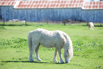 Beautiful miniature horses