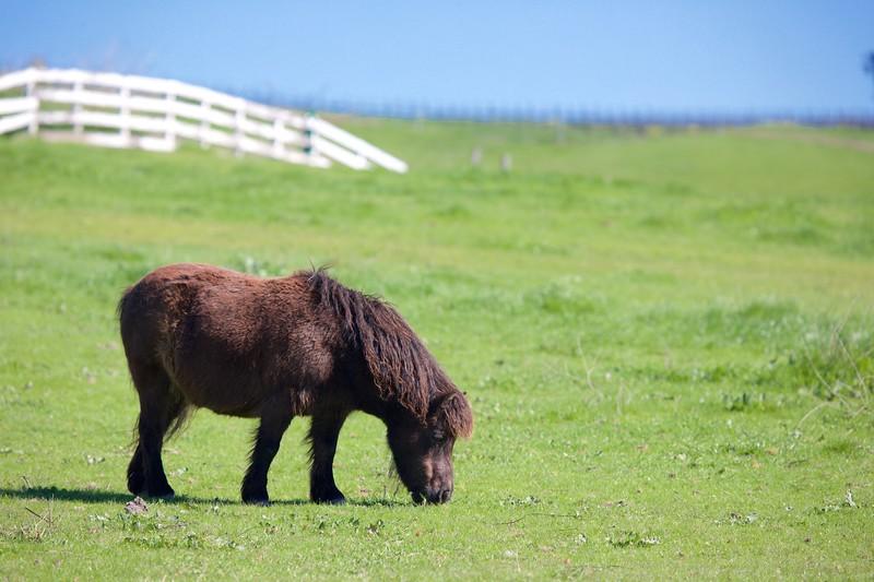 Beautiful miniature horses